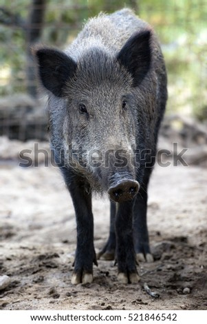 Wild pig looking at the camera. Vertical composition.