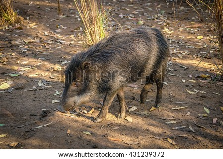 Wild pig searching for food in south america