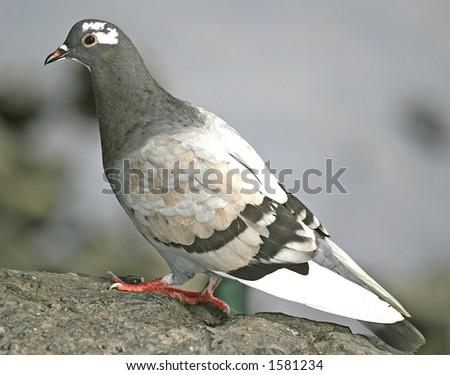 Wild pigeon on a rock - stock photo