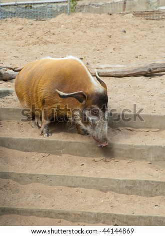 wild pigs in a zoo open-air cage - stock photo