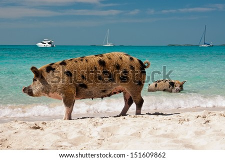 Wild pigs on Big Majors Island in The Bahamas, lounging and walking around in the sand and ocean. - stock photo