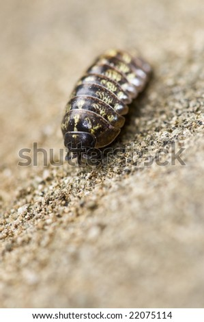 Wild Pill Bug close-up - stock photo