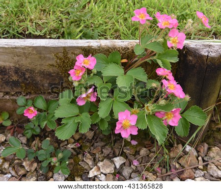 Strawberry plant pink flowers image collections flower decoration wild pink flowering strawberry plant fragaria stock photo edit now wild pink flowering strawberry plant fragaria mightylinksfo