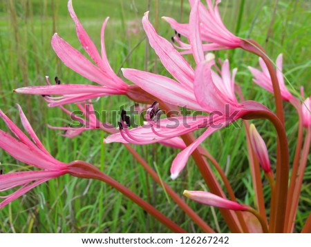 wild pink flowers in natal royal park, dragensberg mountains - stock photo