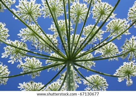 Wild plant blossoming white flowers against the sky - stock photo