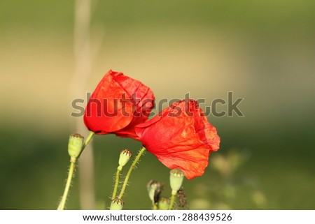 wild poppies blown by the wind over green background - stock photo