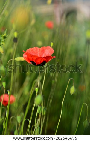 Wild poppy blooming in the field - stock photo