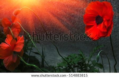 Wild poppy flower sunset symbol remembrance stock photo edit now wild poppy flower at sunset symbol of remembrance mightylinksfo