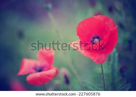 Wild poppy flowers / Vivid poppy field - stock photo