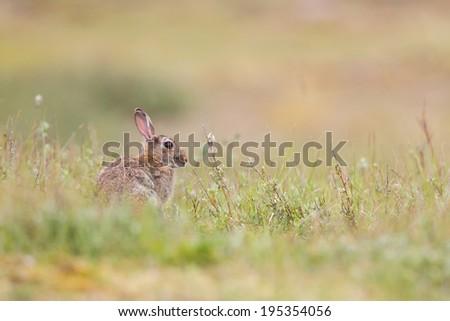 wild rabbit - stock photo