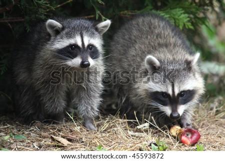 Wild raccoons - stock photo
