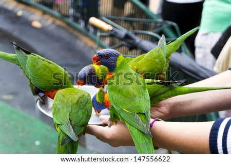 wild rainbow lorikeets come in to be fed every afternoon at currumbin wildlife sanctuary - stock photo