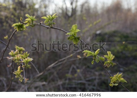 Wild raspberry branch with young leaves at spring outdoors in Northern Europe.  - stock photo