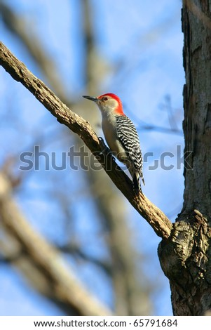 Wild Red Bellied Woodpecker Clinging to a branch in Warm Sunset Light. - stock photo