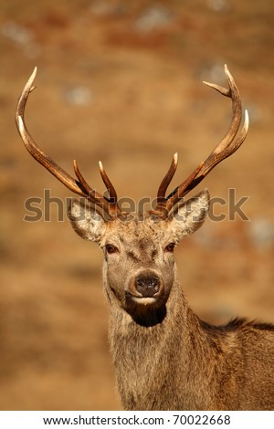 Wild Red Deer Stag. - stock photo