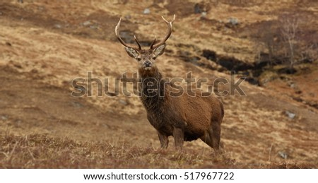 Wild Red Deer Stag in Autumn in the Scottish Highlands.