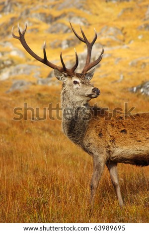 Wild Red Deer Stag in the Highlands of Scotland. - stock photo