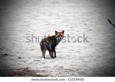 wild red fox on the beach as viewed in binoculars - stock photo
