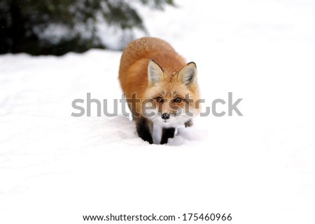 Wild red fox stalking towards the camera in the snow. - stock photo
