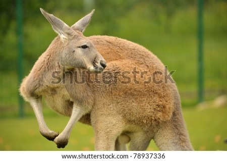 Wild Red Kangaroo in Australia