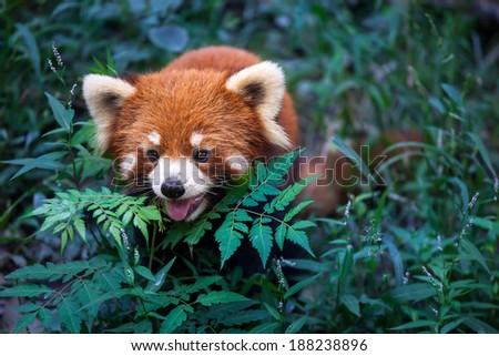 Wild Red Panda in her natural habitat, China - stock photo