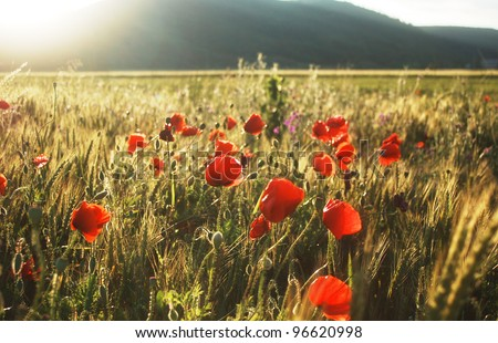 Wild red poppies on a wheat field in summer time