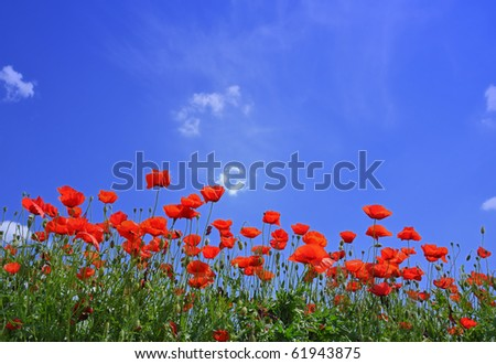 Wild red poppies under the blue summer sky - stock photo