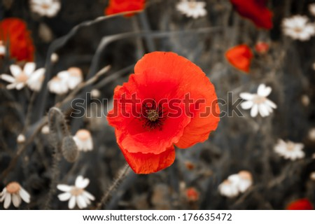 Wild red poppy and white daisy flowers in the meadow. Selective focus. Retro style greeting card. Aged photo. - stock photo