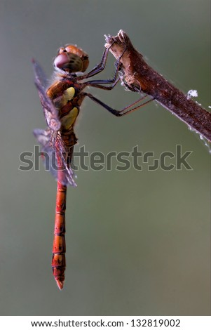 wild red yellow dragonfly on a wood branch  in the bush