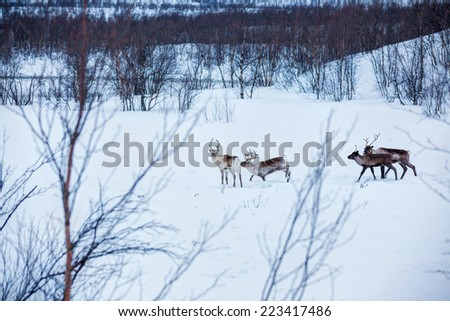 Wild reindeer running in snow, Norway, Scandinavia - stock photo