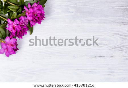 Wild rhododendron flowers on white wood in upper left corner of frame. Overhead view.  - stock photo
