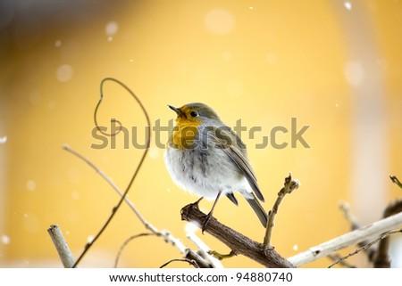 Wild Robin - stock photo