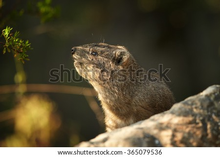 Wild Rock Hyrax Procavia capensis in its natural environment.Close up photo, blurred grass in foreground, rocks in background. Nice colorful light. Drakensberg, South Africa.   - stock photo