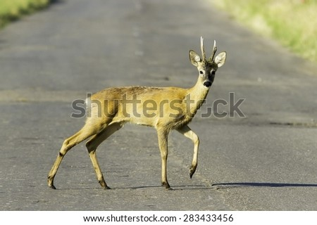 wild roe deerbuck / Capreolus capreolus - stock photo