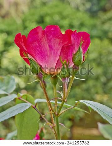 wild rose flower closeup in the garden - stock photo