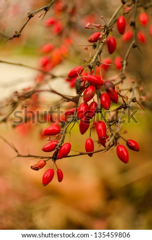 Wild rose-hips on the bush - stock photo