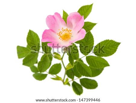 wild rose isolated on white background - stock photo