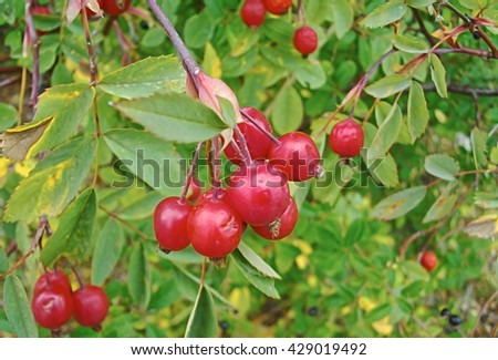 Wild rose seed in the garden - stock photo