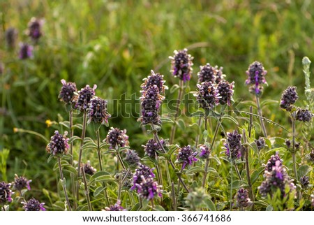 wild salvia officinalis on field  - stock photo