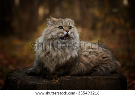 Wild Scottish cat on a stump autumn day Scotish - stock photo