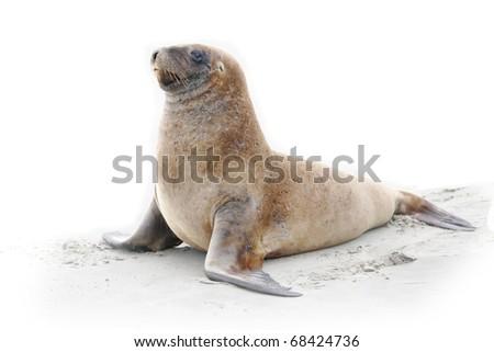 Wild sea lion on beach - stock photo