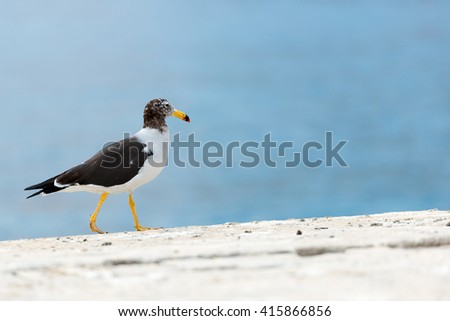 Wild seagull in Chile - stock photo