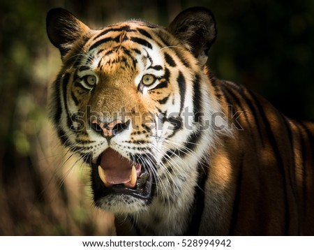 Wild siberian tiger (Panthera tigris altaica) in the jungle