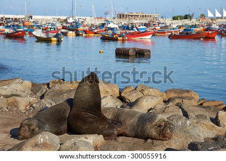 Wild South American Sea Lions (Otaria flavescens) basking on rocks in the fishing harbour at Iquique in northern Chile.  - stock photo