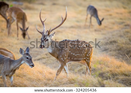 Wild South Texas Axis, Chital, or spotted Deer Buck. - stock photo