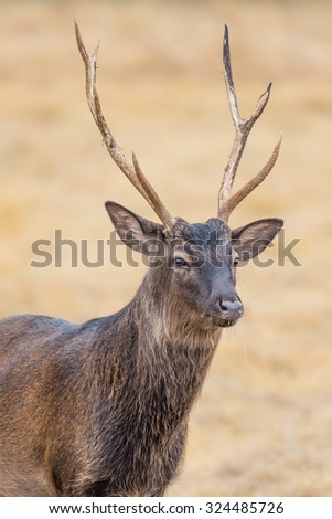 Wild South Texas Sika deer buck close up. Also known as a Japanese or Spotted Deer. - stock photo