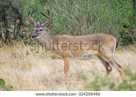 Wild South Texas Whitetail deer buck in velvet