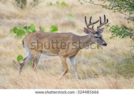 Wild South Texas Whitetail deer buck in velvet - stock photo