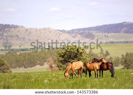 Wild Spanish Mustangs in the Black Hills of South Dakota