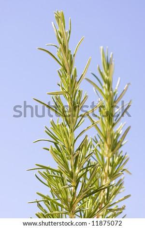 Wild Spanish Rosemary - stock photo